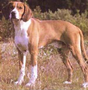 types of hound dogs 1000 images about hygenhund on hound and breeds
