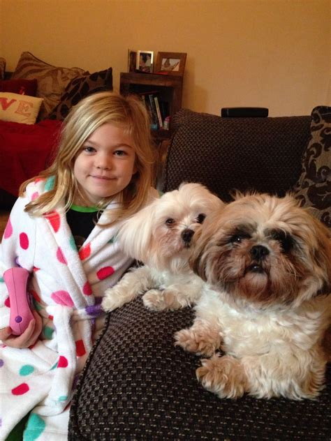 shih tzu for rehoming maltese terrier and shih tzu for rehoming bournemouth dorset pets4homes