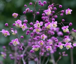 thalictrum rochebrunianum buy online at annie s annuals