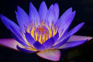 Blue Lotus Flower Meaning 187 10 Most Cool And Beautiful Flowers In The World
