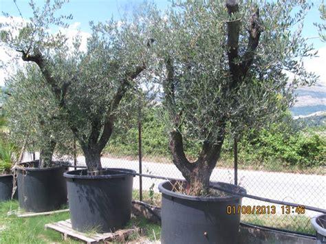 piante di ulivo da giardino piante d ulivo in vaso da giardino a buccino kijiji