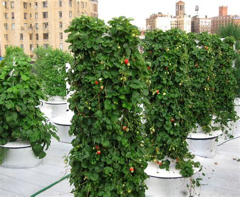 Strawberry Vertical Garden New York City S Most Successful And Running