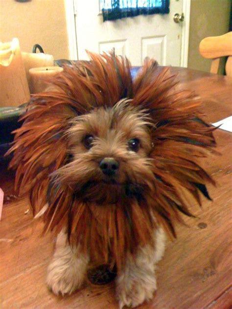 yorkie poo lion best 25 dog lion costume ideas on pinterest york poo