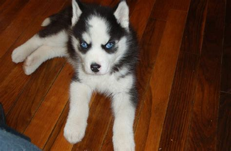 pomsky puppies for sale in va pomsky puppies for sale in virginia adopt pomeranian husky mix in va
