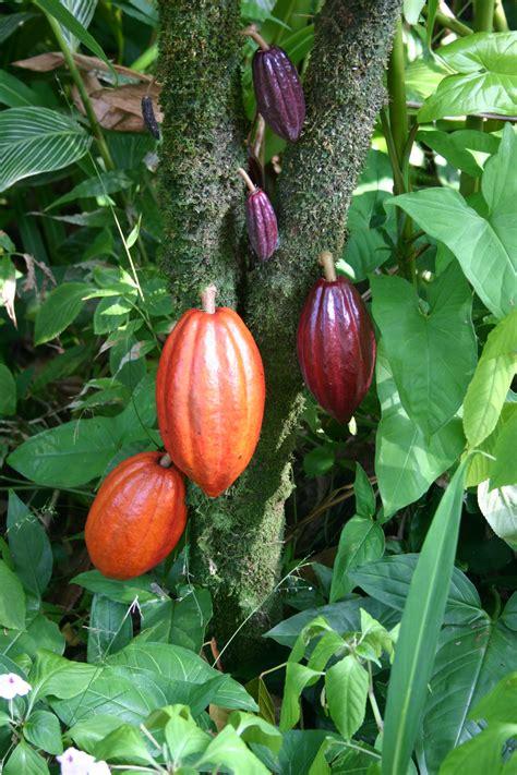cocoa tree fruit file cocoa pods jpg