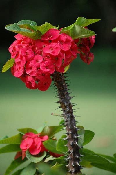 Tanaman Hias Euphorbia Bunga Kuning jenis jenis dan macam macam tanaman hias part ii jual tanaman hias