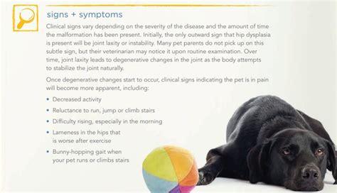 symptoms of hip dysplasia in dogs hip dislocation dogs elsavadorla