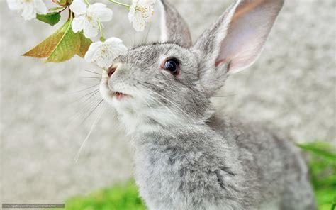 grey rabbit wallpaper download wallpaper gray rabbit ears muzzle free desktop