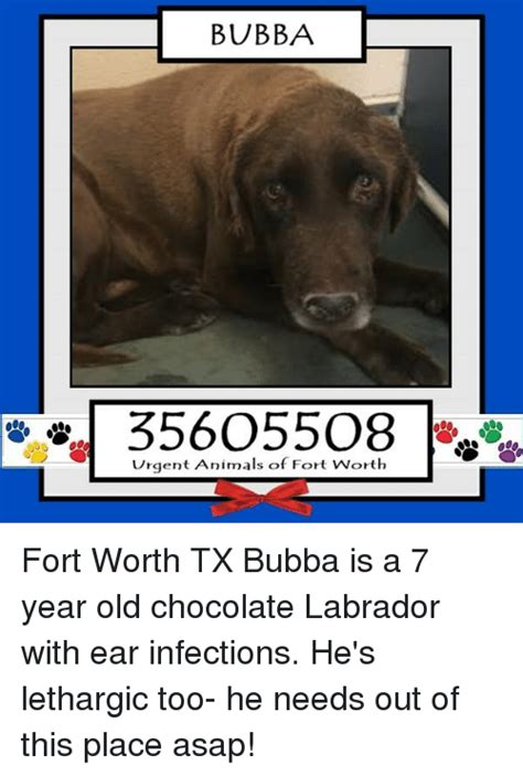 is 66 years old too old to ear bangs 25 best memes about chocolate labrador chocolate