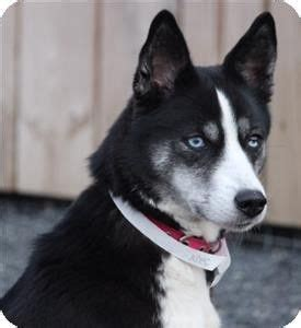 husky puppies for adoption in pa 17 best ideas about quakertown pa on waterfalls in pa philadelphia pa and