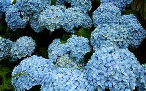 hydrangeas flowers for of hydrangeas berkeley garden coach