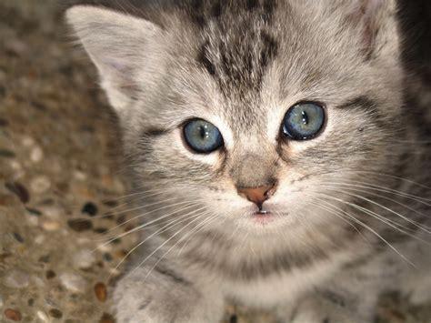 grey eyes wallpaper 50 cute grey kitten with blue eyes kittens cute wallpapers