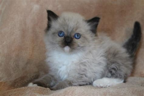 a ragdoll to highspire pa ragdoll cat shipping rates services