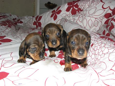 wire haired dachshund puppies for sale dachshund puppies for sale wire haired blyth northumberland pets4homes