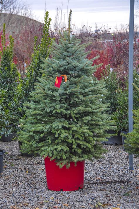 master gardener choosing the perfect christmas tree