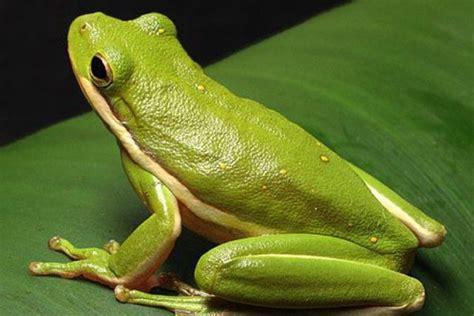 una rana a frog 191 es un sapo o una rana aprende a diferenciarlos