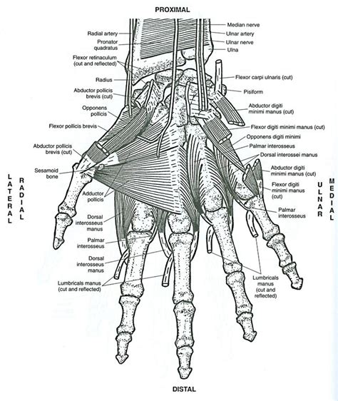 anatomy coloring book in 63 best anatomy of muscles images on human