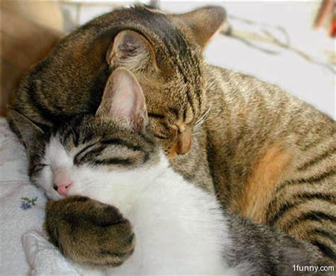 cat hugs cat hug 3 1funny