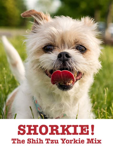 yorkie or shih tzu better shorkie the shih tzu terrier mix the happy puppy site