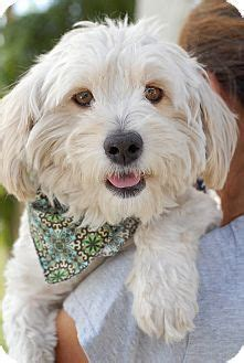 facts about havanese 59 best images about havanese dogs on havanese dogs dogs and