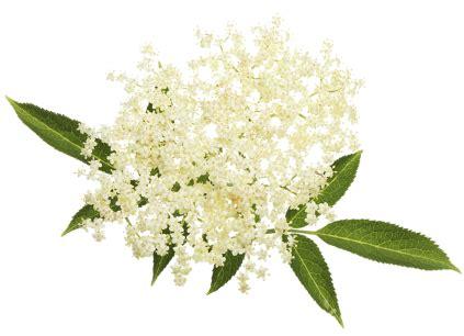 fiore di sambuco treesse fior di sambuco tassoni