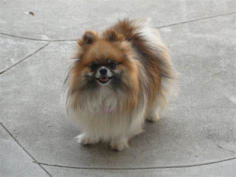 reputable pomeranian breeders pomeranian adults and
