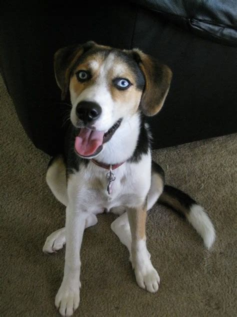 beagle husky mix puppies best 25 beagle mix ideas on