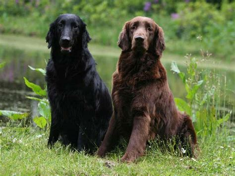 the flat coated retriever flat coated retriever dog breed temperament facts alldogsworld com