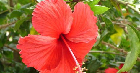 gudal ka photo gudhal ke phool ke fayde benefits of hibiscus flower hinglishpedia