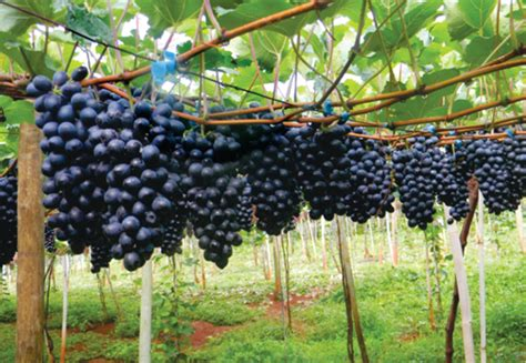 os 10 benef 237 cios da uva para sa 250 de dicas de sa 250 de os 10 benef 237 cios da uva para sa 250 de atualizado