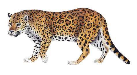 imagenes de la jaguar clasificacion taxonomica del jaguar idea de imagen del coche