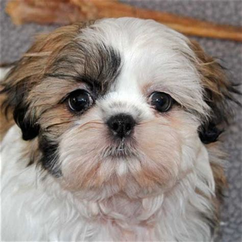 shih tzu puppies in florida shih tzu puppy for sale in south florida