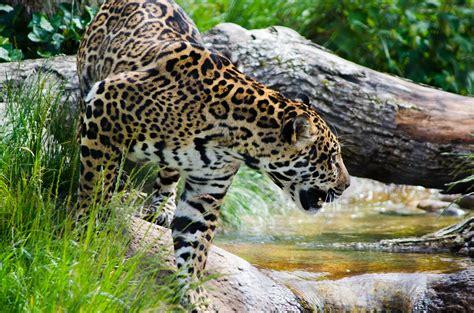 jaguar belize top 7 cultural attractions of san ignacio belize