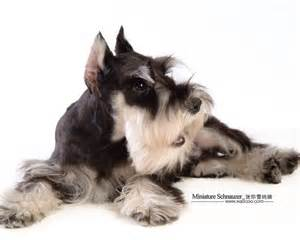 Cute dogs miniature schnauzer puppies