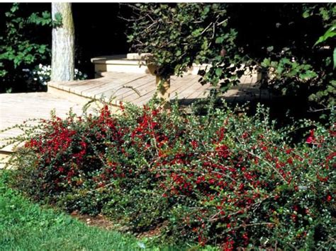 low growing flowering shrubs for sun 17 b 228 sta bilder om tr 228 dg 229 rd p 229 tr 228 dg 229 rdar