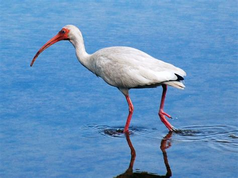 wallpapers white ibis bird wallpapers