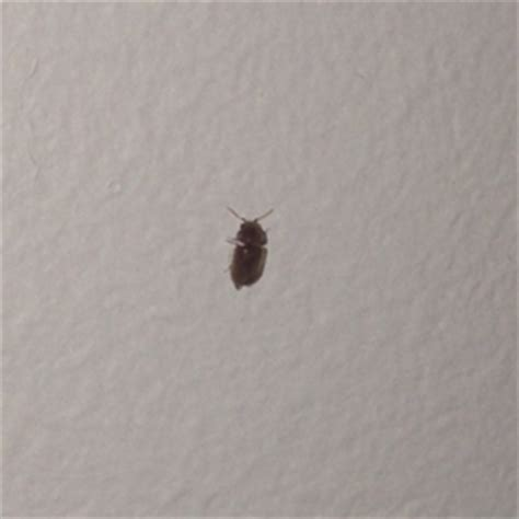small flying bugs in kitchen tiny black brownish insects appearing in nyc apartment