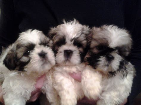 shih tzu puppies for free shih tzu dogs puppies for sale in find dogs design bild