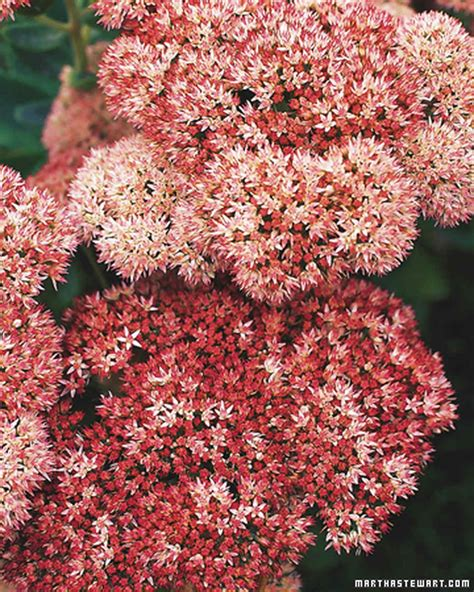 fall flowering perennials fall perennials martha stewart