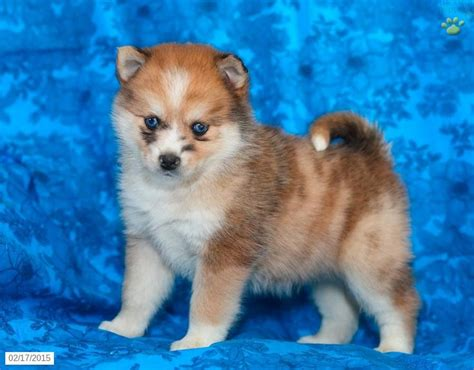 puppies for sale in pa 121 best pomsky puppies for sale images on