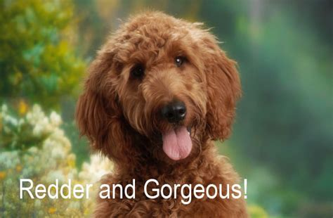 irish setter puppies for sale irish doodle dog breeds