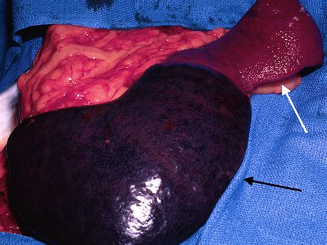 ruptured spleen in dogs veterinary key points splenectomy in dogs and cats indications surgical technique