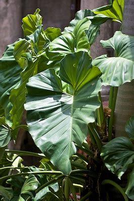 piante da interno sempreverdi piante da appartamento sempreverdi duylinh for