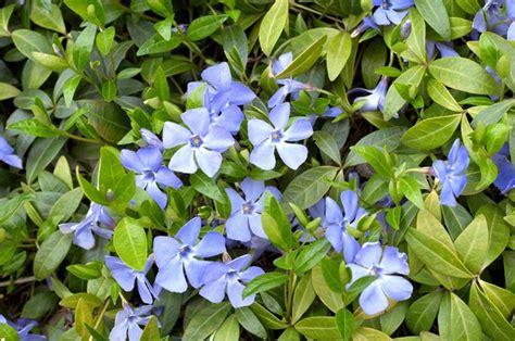 pervinca fiore pervinca fiore piante perenni coltivazione pervinca