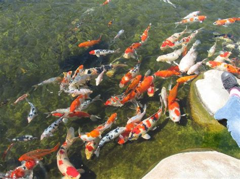 Garden State Koi by 17 Best Images About Bassins Carpes Koi Shubunkin On
