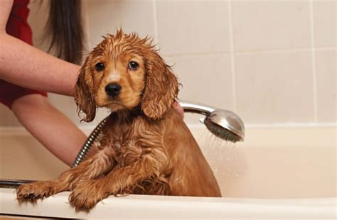 when can puppies get a bath your help my puppy hates bathtime puppy advice care and advice