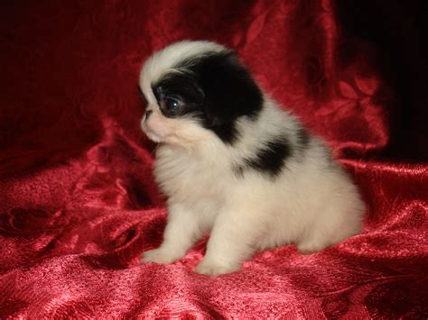 japanese chins japanese chin puppies japanese chin puppy wallpapers and images wallpapers