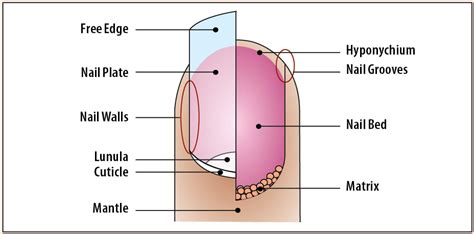 Nail Of by Nail Debridement Cpt Nail Ftempo