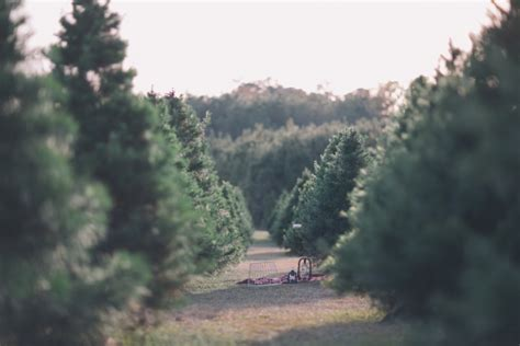 christmas tree farm photography ct black hue photography a secret tree farm becca justin