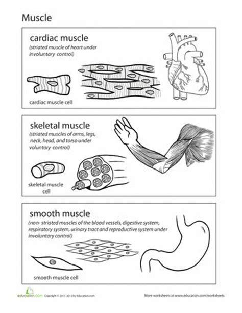 Types Of Tissues Worksheet by Inside Out Anatomy Muscles Follow Me Types Of And